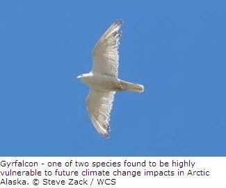 Gyrfalcon in Arctic Alaska