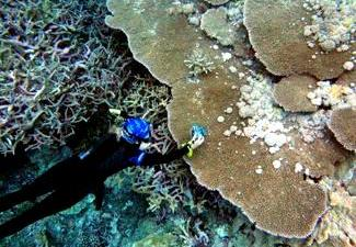 Acropora Coral Colony with Tumors