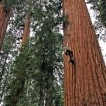 Unprecedented Growth Surge in Redwoods, Sequoias despite Climate Change