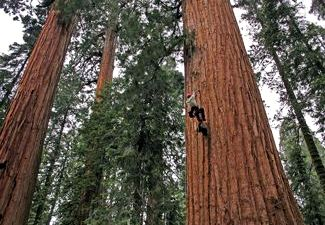 Giant Sequoias. © Anthony Ambrose