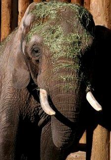 Elephant Misha
