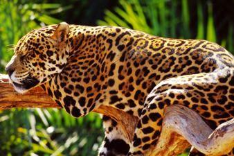 Jaguar in Paraguay