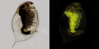 Freshwater Crustacean D. magna