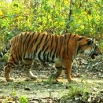 Villagers' Land Uses Help People and Tigers in Nepal