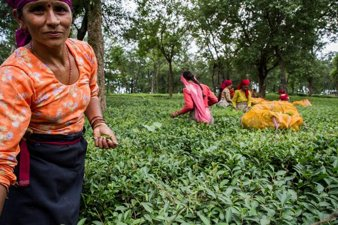 Tea Harvesting in India
