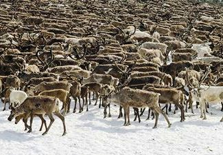 Caribou in Arctic. © Yale