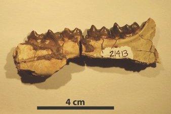 Jawbone of Hyracotherium