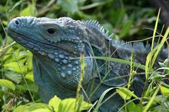 Endangered Blue Iguana in Cayman Islands
