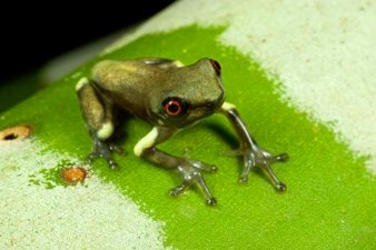 Canopy Frog