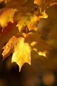 Deciduous Sugar Maple Leaves