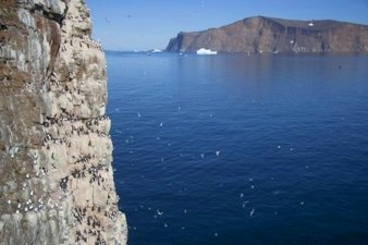 Colony of Thick-billed Murres, Greenland