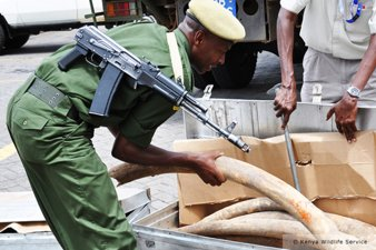 Seized Elephant Ivory in Kenya