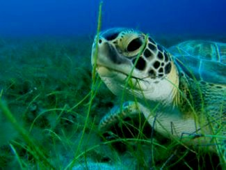 Sea Turtles. © Swansea University / BS and RD Kirkby