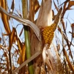 Water and Climate Risks are Growing Threat to U.S. Corn Production