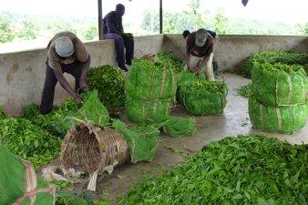 Workers at Tea Plantation, Uganda
