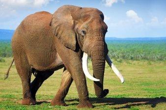 African Elephant. © UNEP