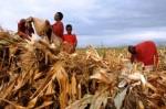 t2s-grain-kenya-pastoralists-maize-harvesting