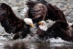 t2s-audubon-bald-eagle
