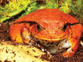 Madagascar Tomato Frog