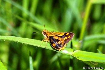 Australian Black Grass-dart Butterfly