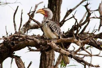 Yellow Hornbill in Kruger National Park