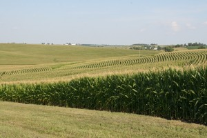 Corn fields in Iowa