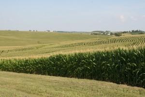 Corn fields in Iowa